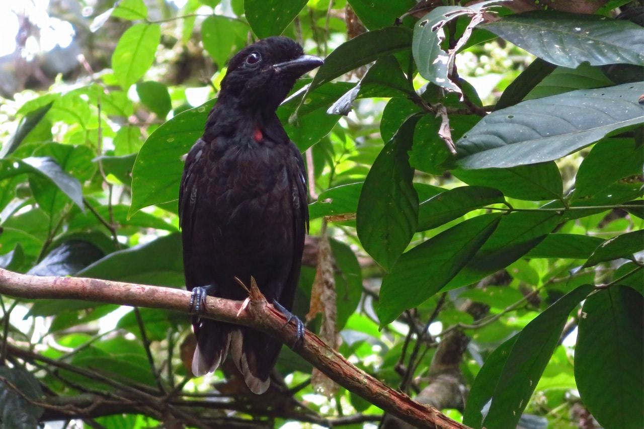 Bare-necked Umbrellabird Panama Whitehawk Birding