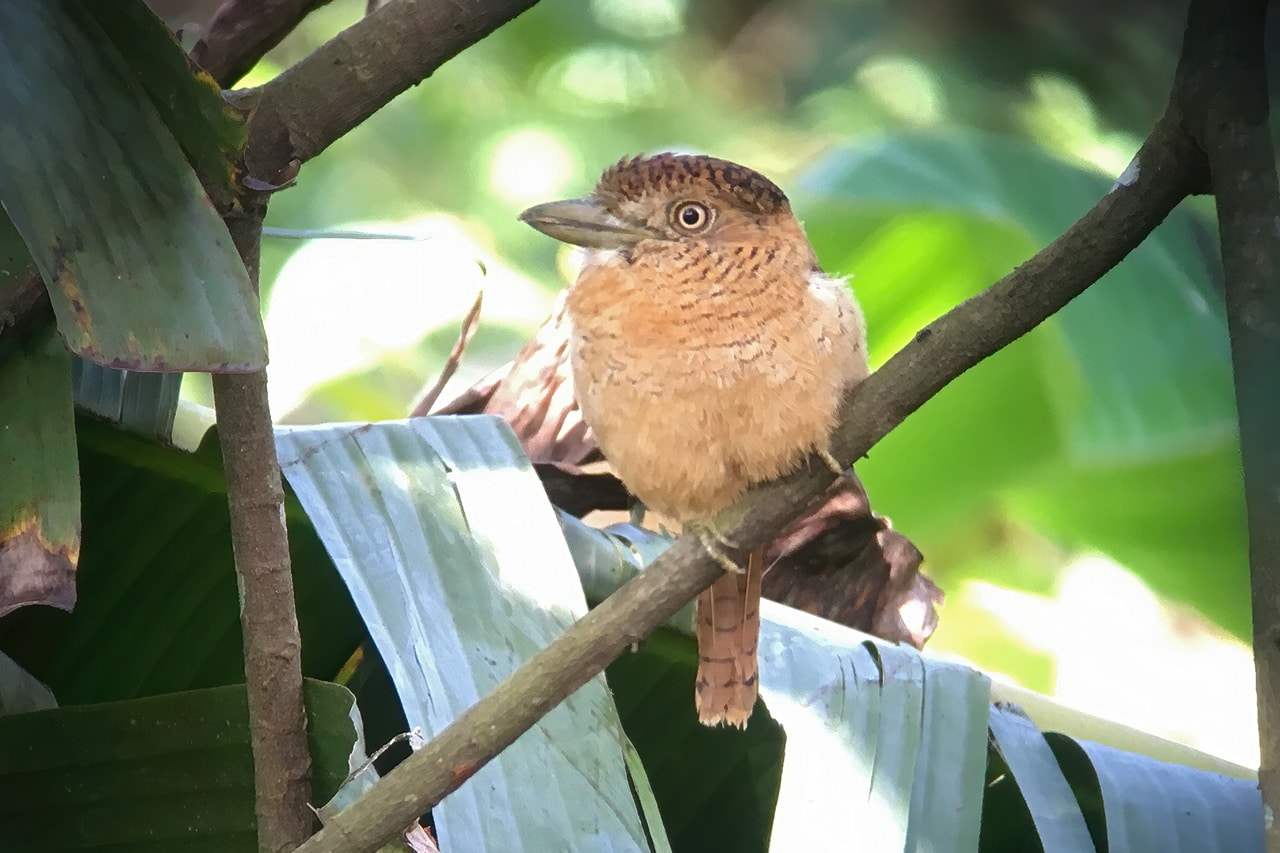 Barred Puffbird Panama Whitehawk Birding