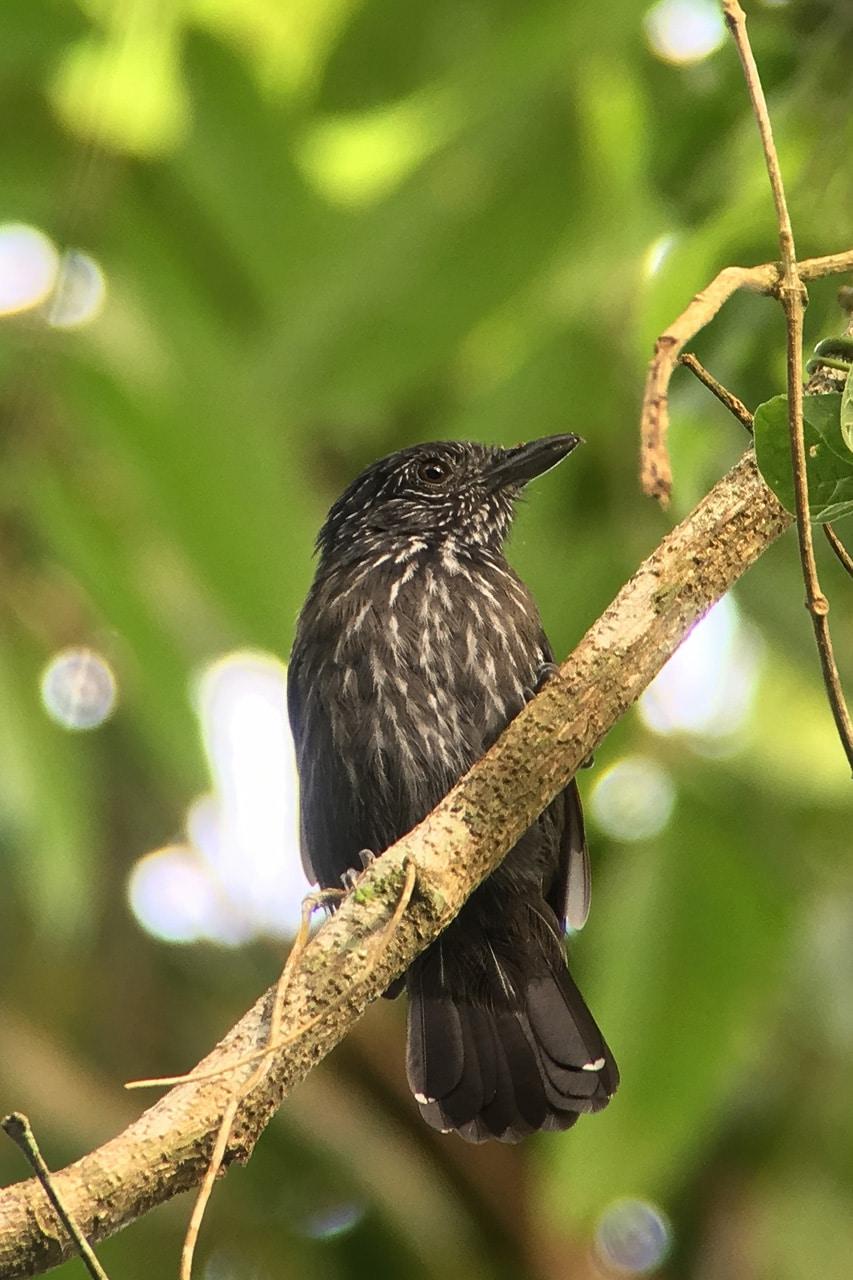 Black-hooded Antshrike Panama Whitehawk Birding