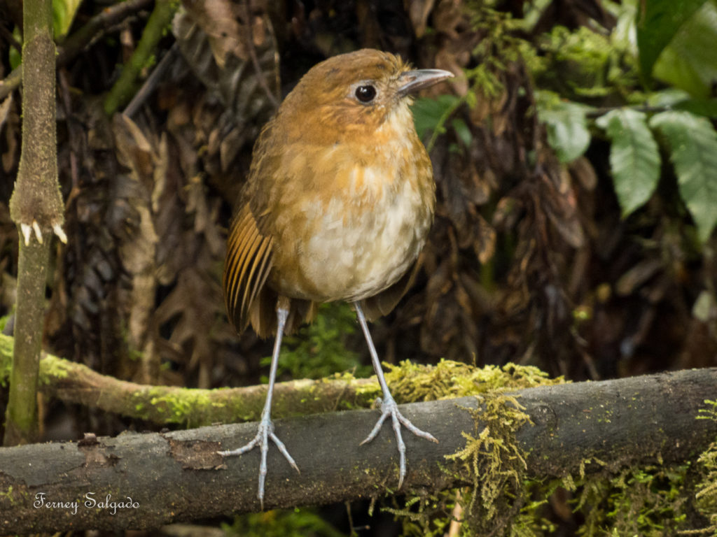 Brown-banded Antpitta endemic bird to Colombia