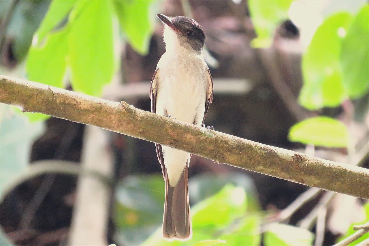 Choco Sirystes Panama Whitehawk Birding