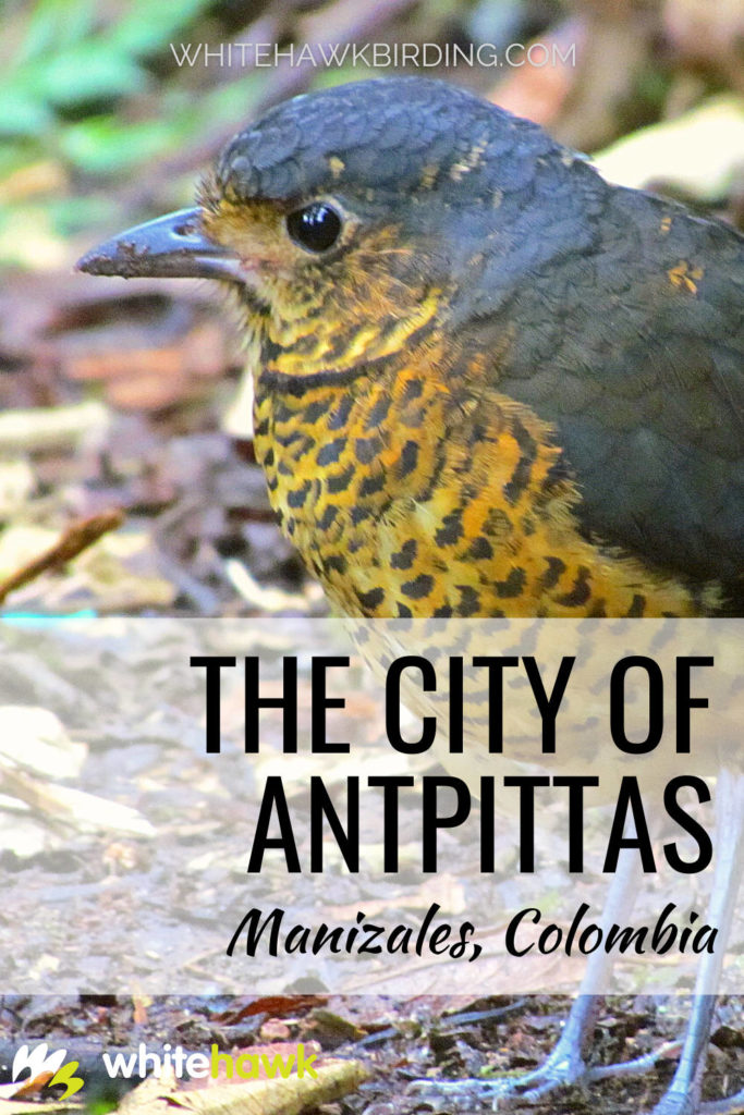The City of Antpittas - Whitehawk Birding: For a true antpitta paradise, look no further than Manizales, Colombia.