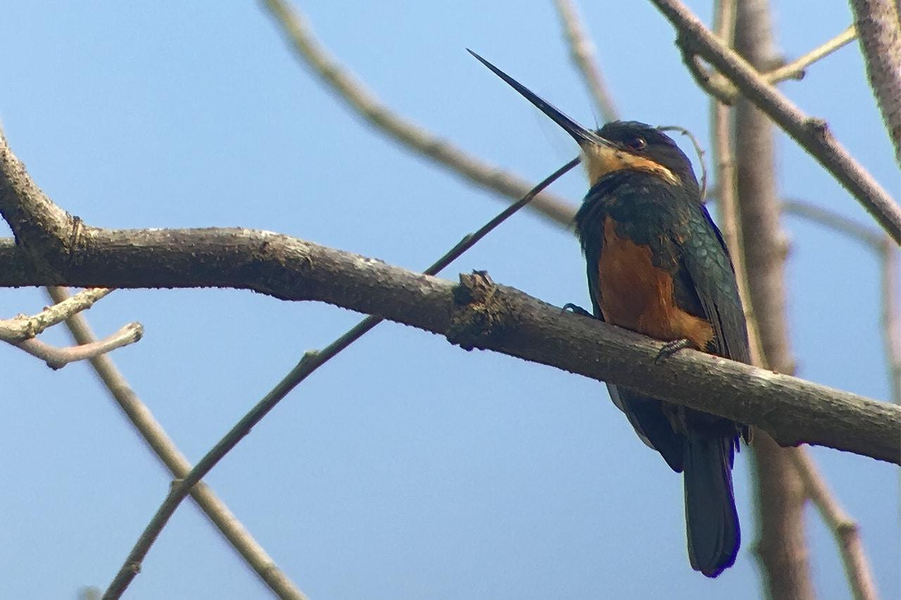 Dusky-backed Jacamar Panama Whitehawk Birding