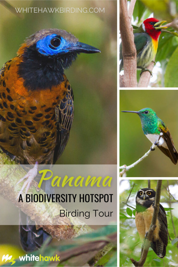 Panama A Biodiversity Hotspot Birding Tour - Whitehawk Birding: Discover Panama's birding at its best in the central lowlands and western highlands.