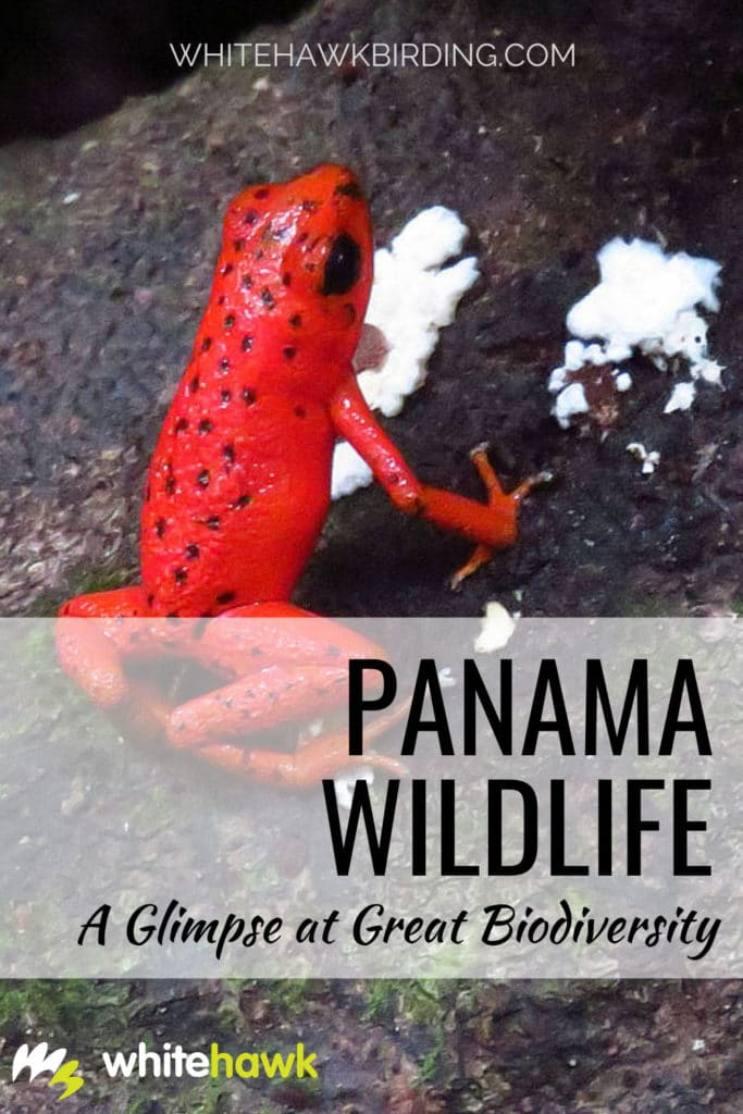 Panama Wildlife: A Glimpse at Great Biodiversity - Whitehawk Birding: Discover the amazing fauna and flora of Panama and find out what's being done to conserve it.