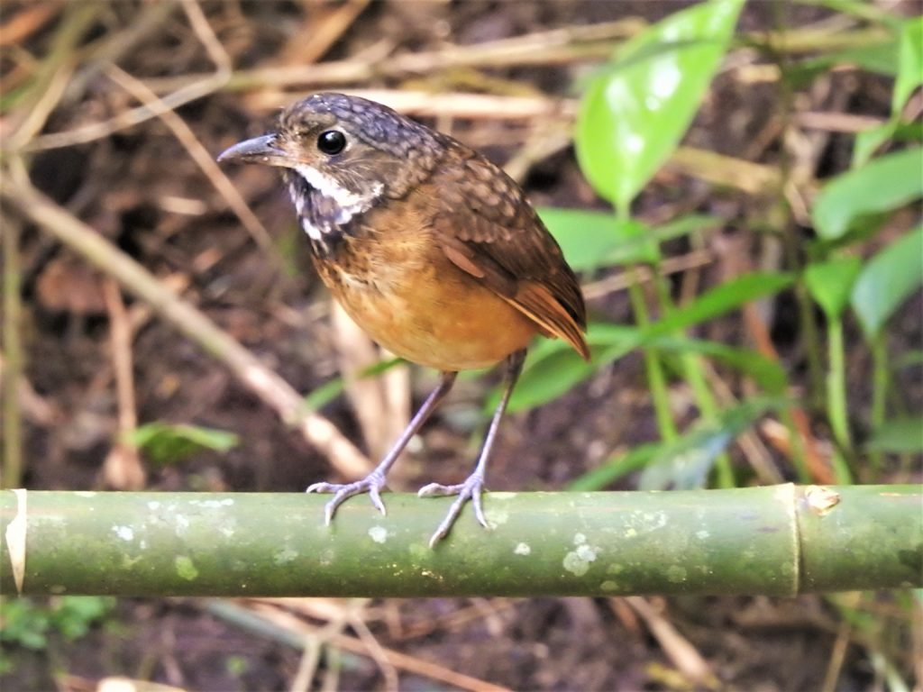 Scaled Antpitta Manizales Colombia