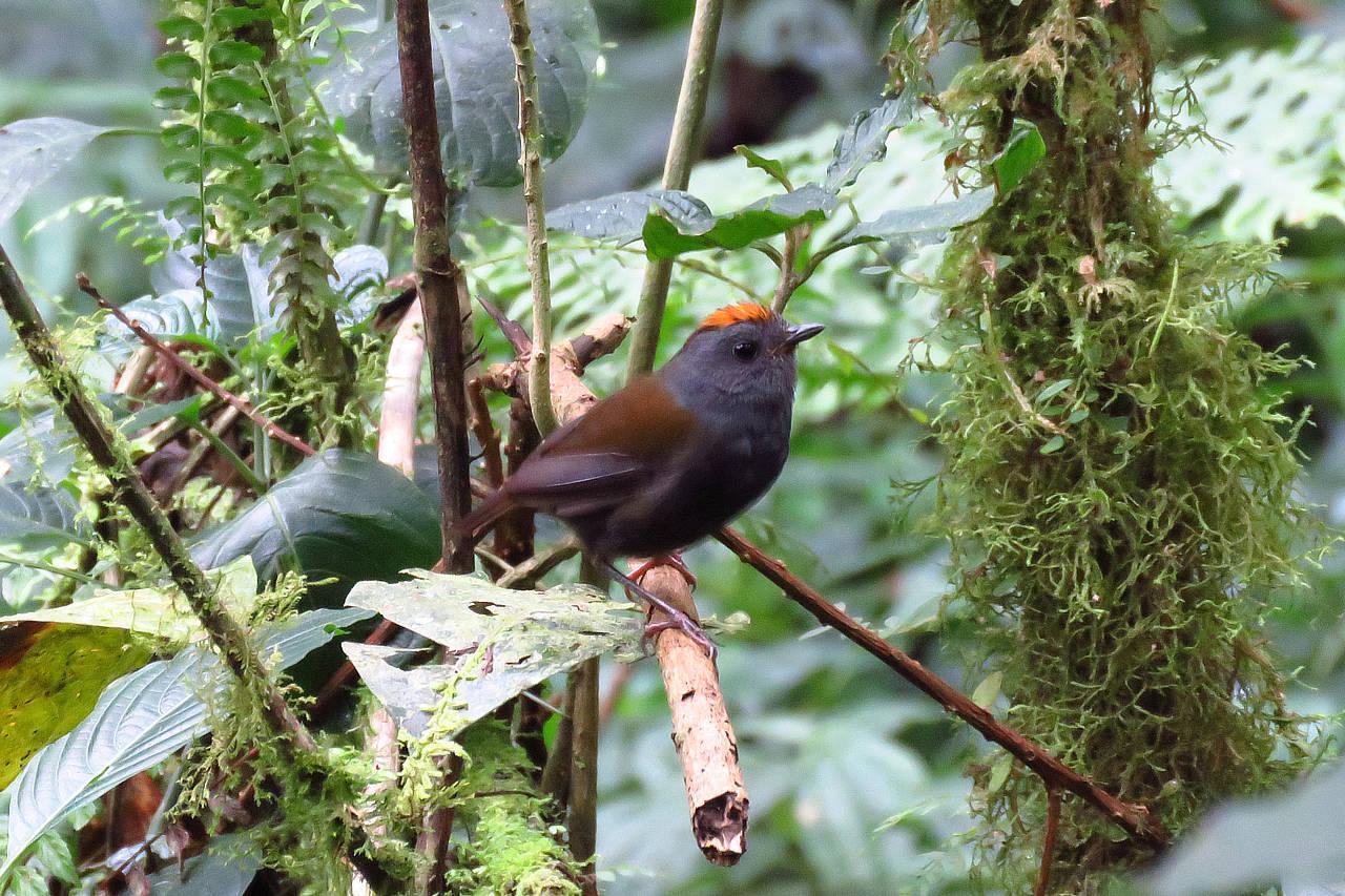 Wrenthrush Panama Whitehawk Birding