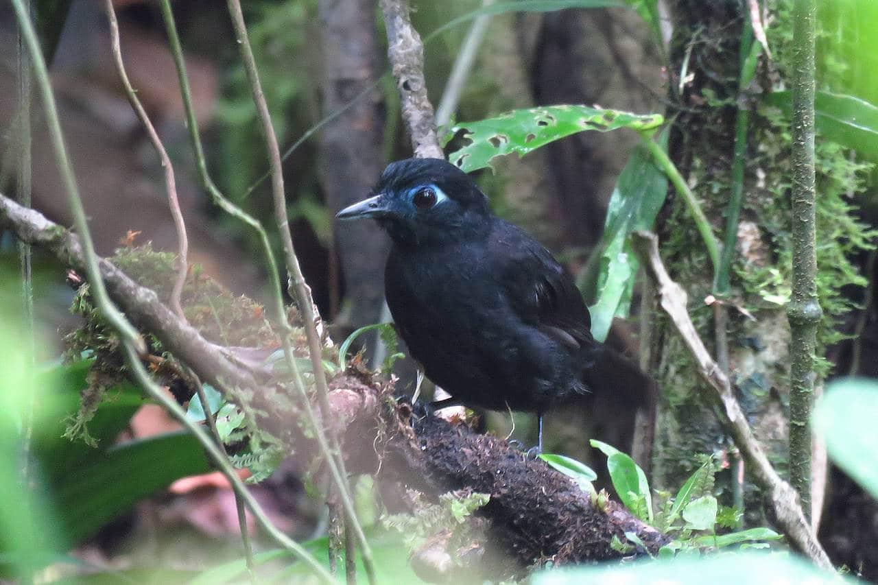 Zeledon's Antbird Panama Whitehawk Birding