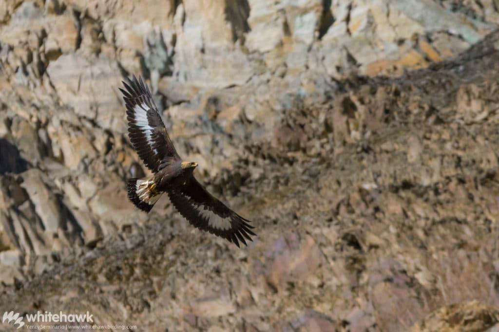 Golden Eagle India Whitehawk Birding