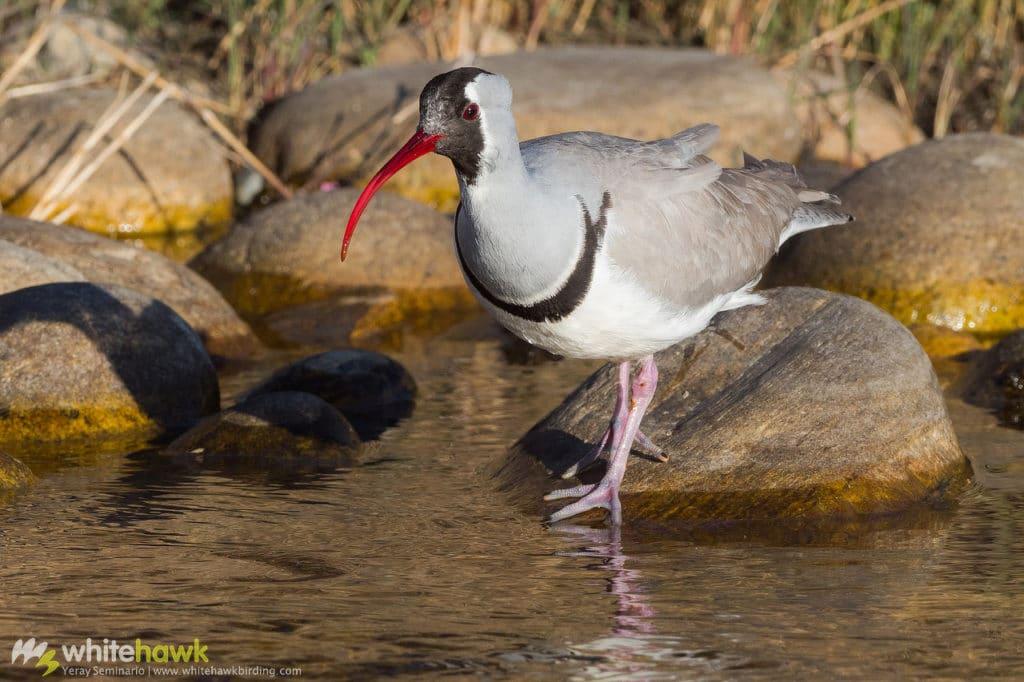 Ibisbill Bhutan Whitehawk Birding