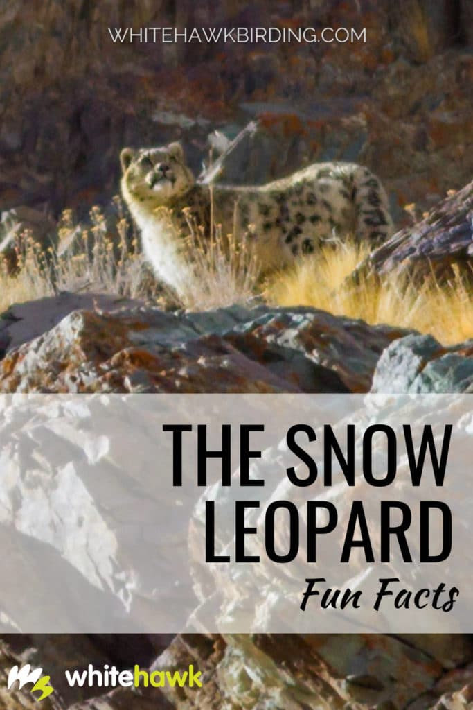 The Snow Leopard - Whitehawk Birding: The Snow Leopard is one of the most beautiful large cats in the world, and one that needs the most conservation. Learn about the snow leopard, its natural history and how you can help ensure its survival.