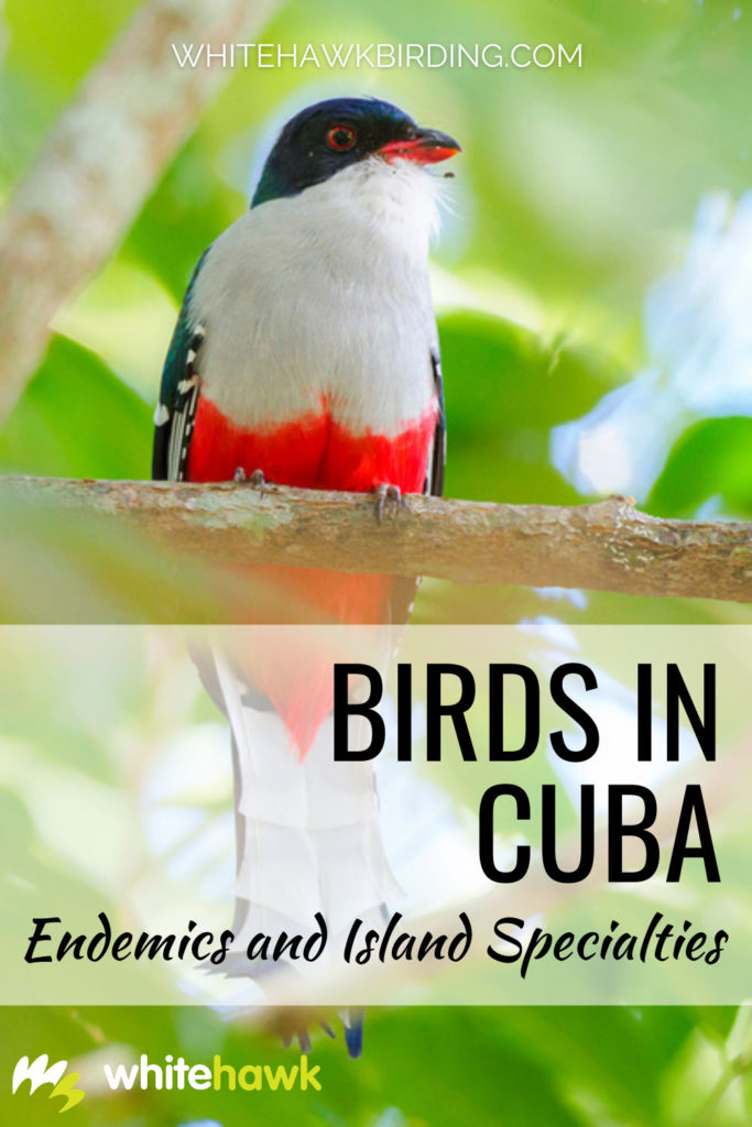 Birds in Cuba - Whitehawk Birding: Cuban birdlife is among the best in the world. Cuba is home to dozens of endemic species, regional endemics and migrants. Discover birds in Cuba.