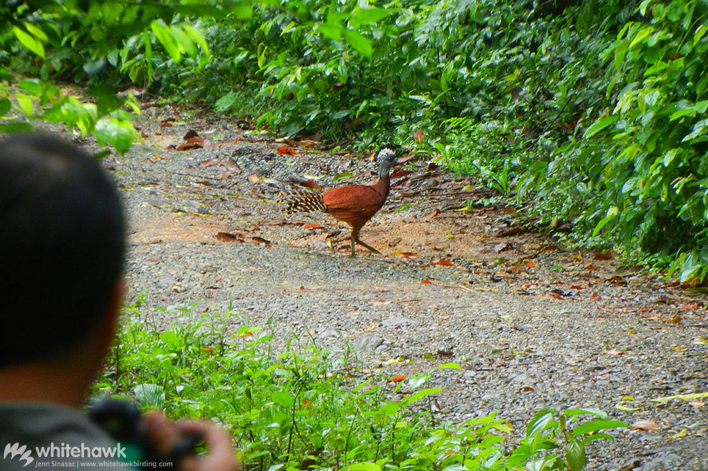 Great Curassow Panama Pipeline Road Whitehawk Birding