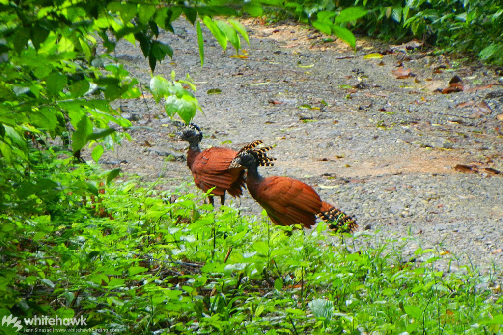 Great Curassow Pipeline Road Panama Whitehawk Birding