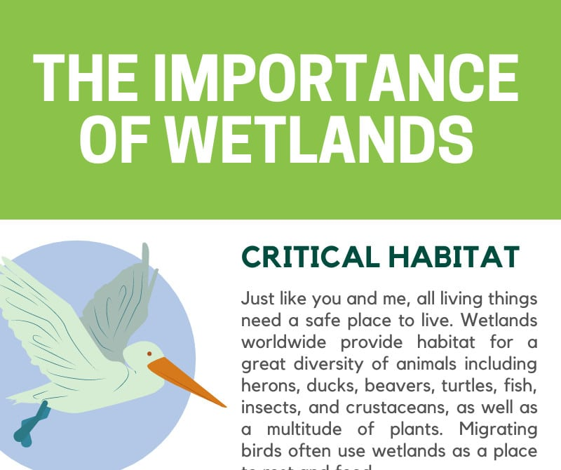 The Importance of Wetlands Infographic Whitehawk Birding