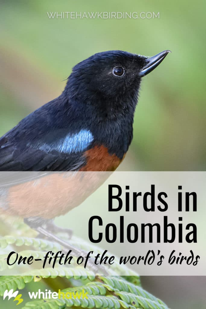 Birds in Colombia: One-fifth of the world's birds - Whitehawk Birding: Colombia is home to an amazing diversity of birds! Learn about Colombia's amazing birdlife and why it is so special.