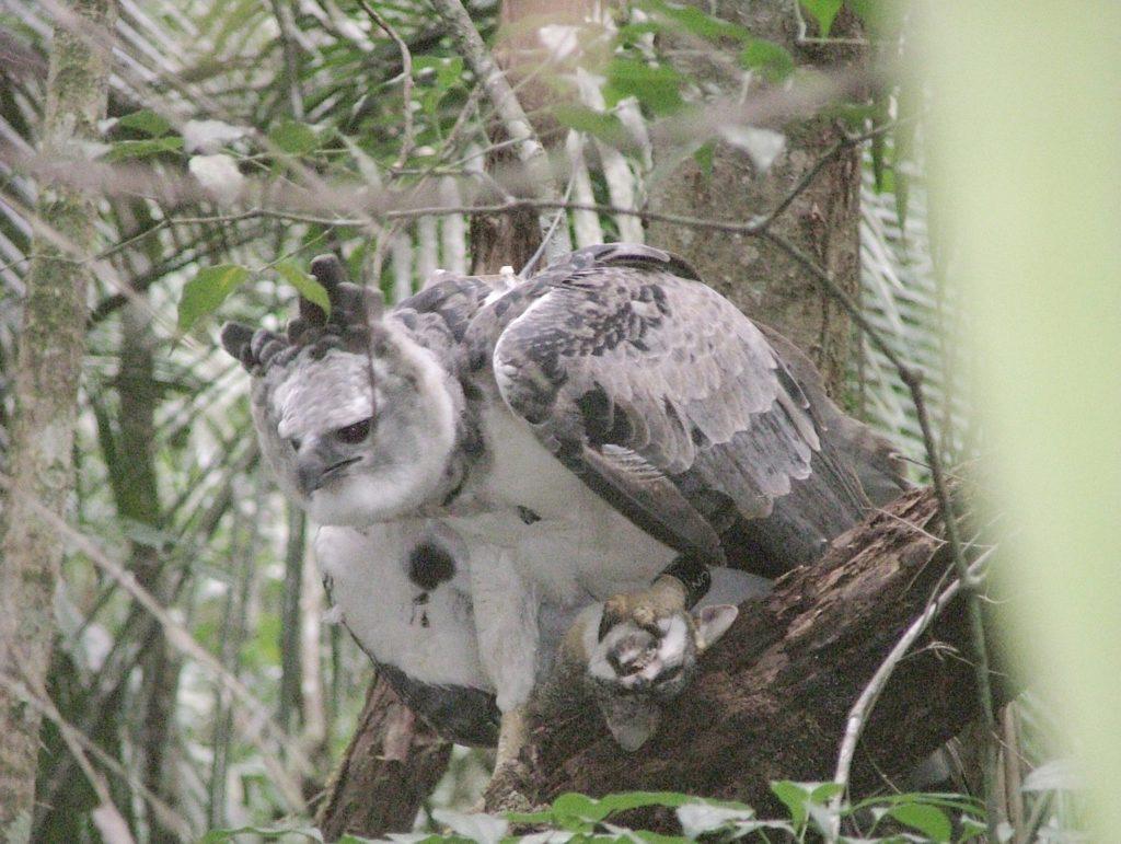 Harpy Eagle with Gray Fox Belize Whitehawk Birding