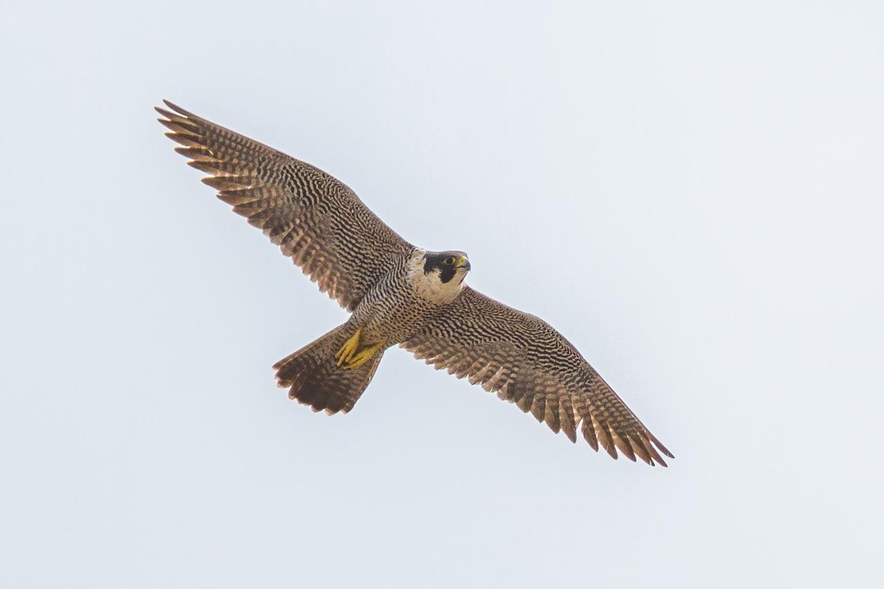 Peregrine Falcon Belize Whitehawk Birding