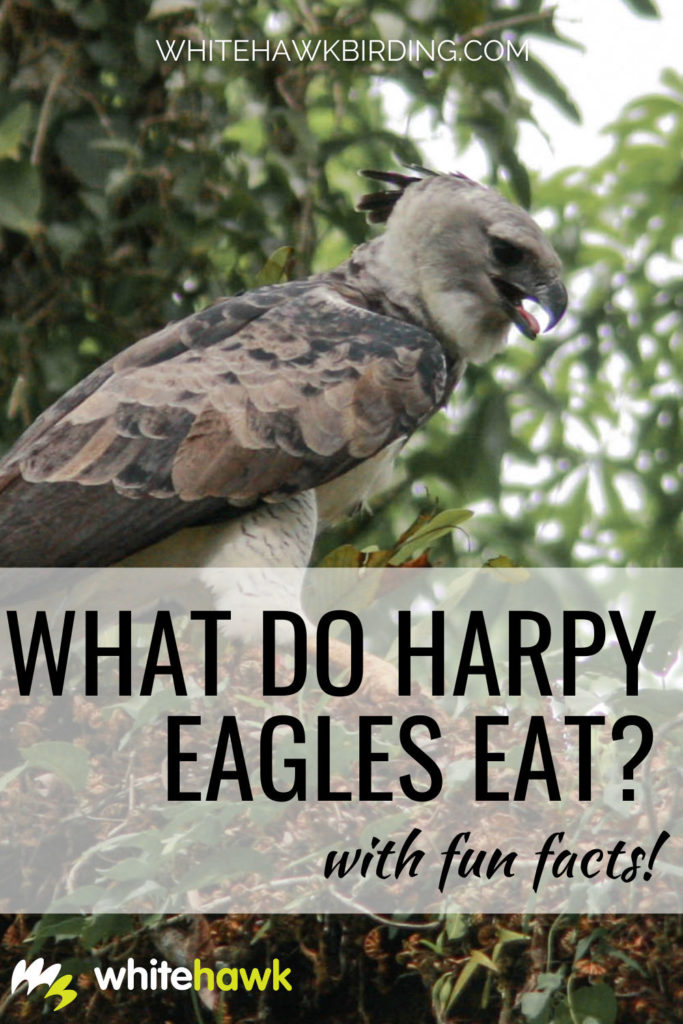 What do Harpy Eagles Eat? Whitehawk Birding: Are you curious about what a Harpy Eagle, one of the largest eagles in the world, eats? There are more than just a few items on its dinner menu. Find out here!
