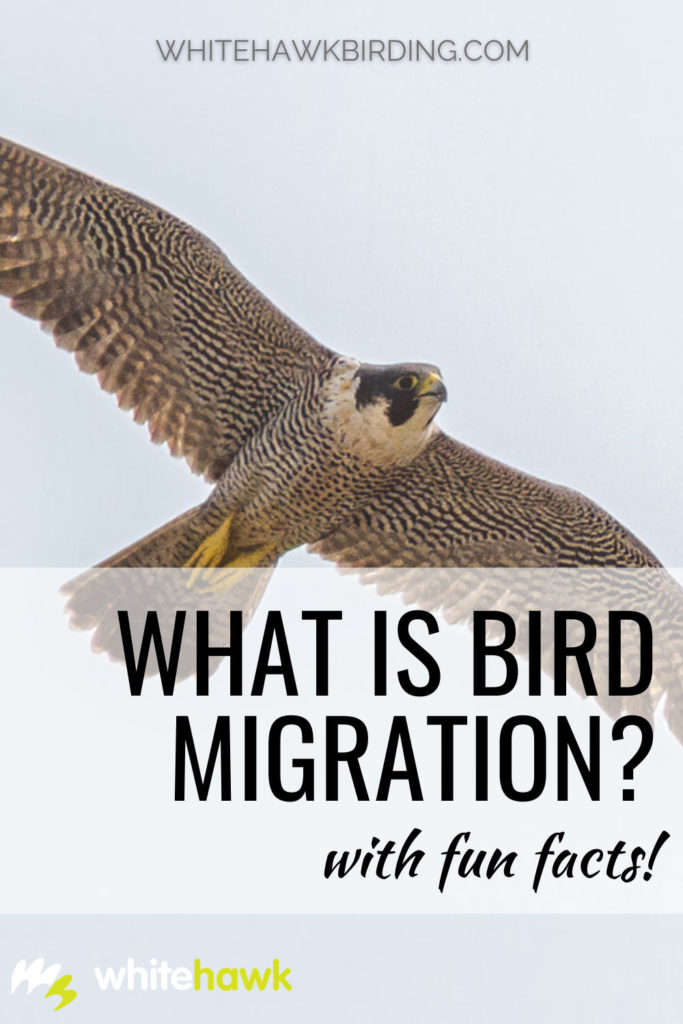 What is Bird Migration? - Whitehawk Birding: Birds are amazing animals that are capable of some fantastic feats! Bird migration is one of them. Discover all about bird migration and learn about some of the threats birds face when migrating.