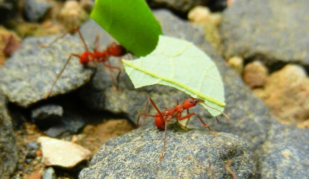 Leafcutter Ant Panama Whitehawk Birding