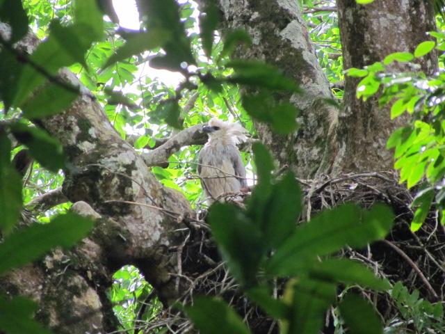 Harpy Eagle nest, Playa Muerto Darien Panama Whitehawk Birding