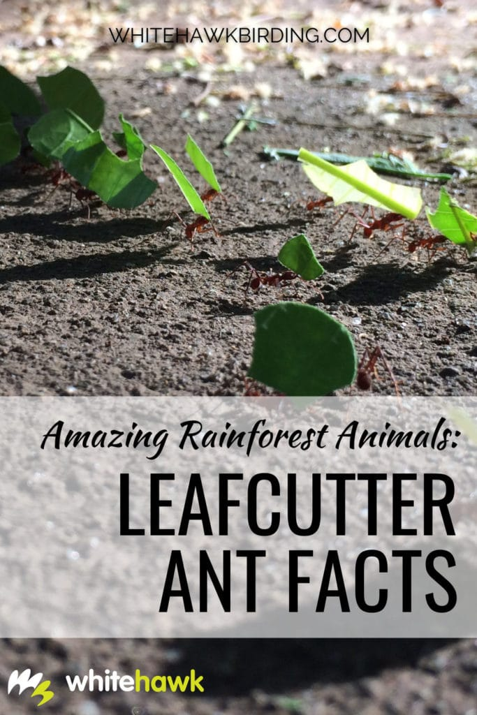 Amazing Rainforest Animals: Leafcutter Ant Facts - Whitehawk Birding: Leafcutter ants are found in the rainforest ecosystems of Central and South America. They are fascinating creatures - learn some amazing leafcutter ant facts in this article!
