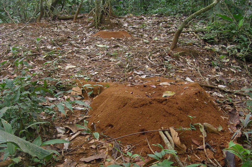 Leafcutter ant nest Panama Whitehawk Birding