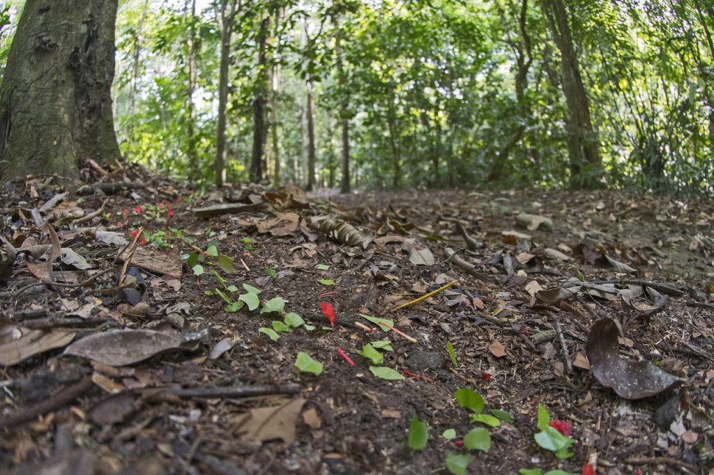 Leafcutter ant trail Darien Panama Whitehawk Birding