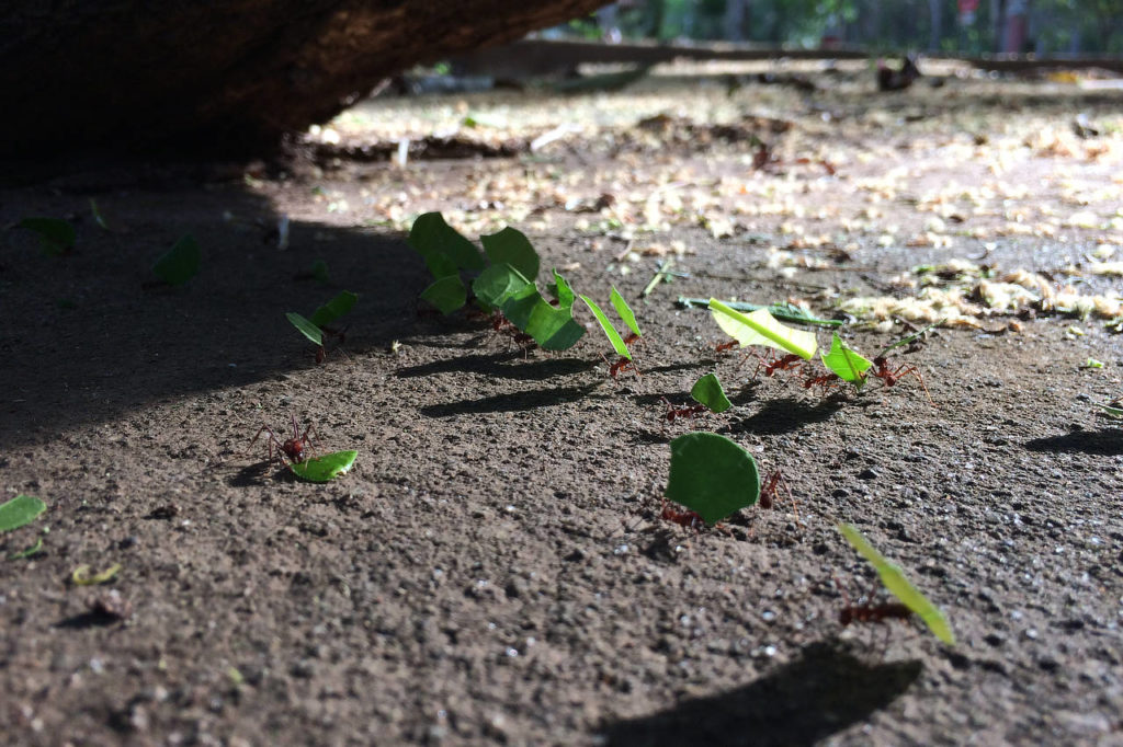 leafcutter ants Panama Whitehawk Birding