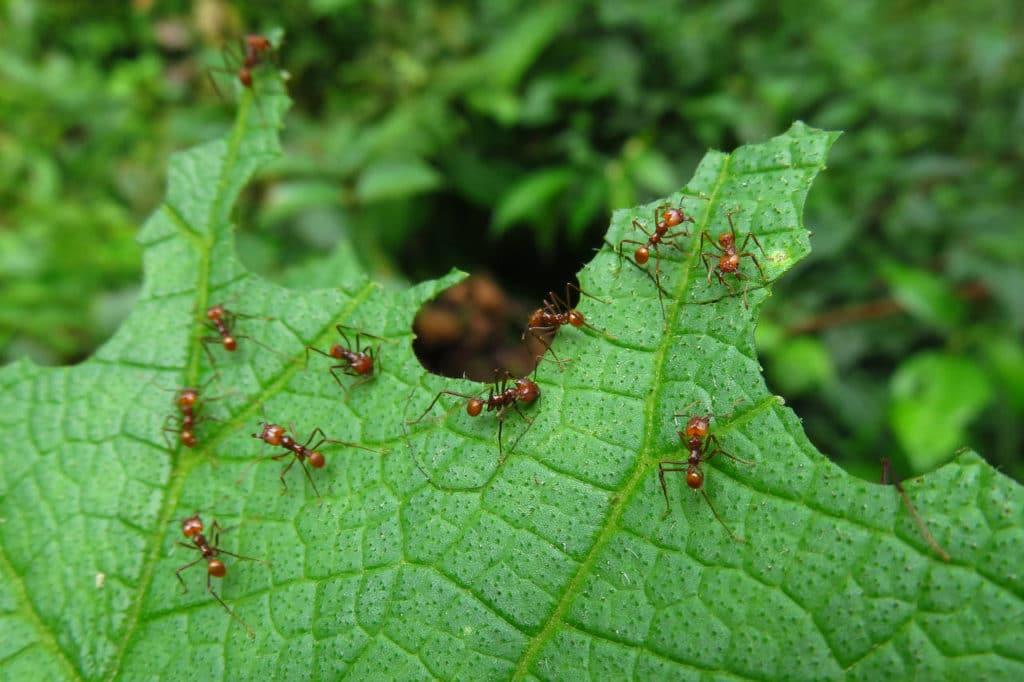 Leafcutter ants cutting leaf Whitehawk Birding