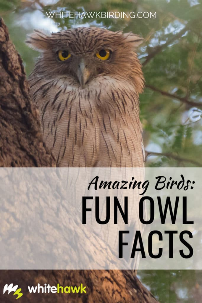 Amazing Birds: Fun Owl Facts - Whitehawk Birding: Owls are some of the most fascinating birds on the planet, with many interesting adaptations, and they play a big role in folklore and culture. Learn more about owls with these fun owl facts!